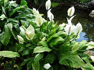 Peace Lilies (Spathiphyllum), Also Known As Closet Plants, Are A Popular  Choice For Offices And Homes. When It Comes To Indoor Plants, Peace Lily  Plants Are ...